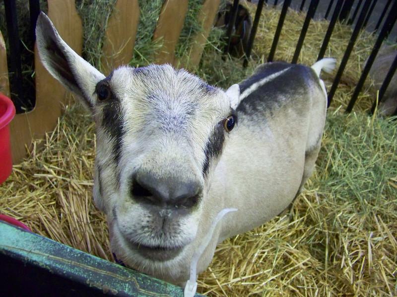Baa-aa-aaa, goat!  Awww, such a face!<br /> [Puyallup, WA Fair 2009]