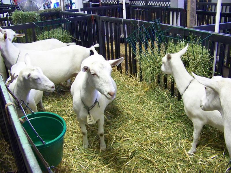 Baa-aa-aaa, goats!<br /> [Puyallup, WA Fair 2009]