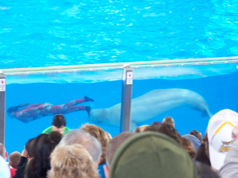 One of the first animals in the show is this beluga whale.<br /> [SeaWorld San Antonio - Azul show]