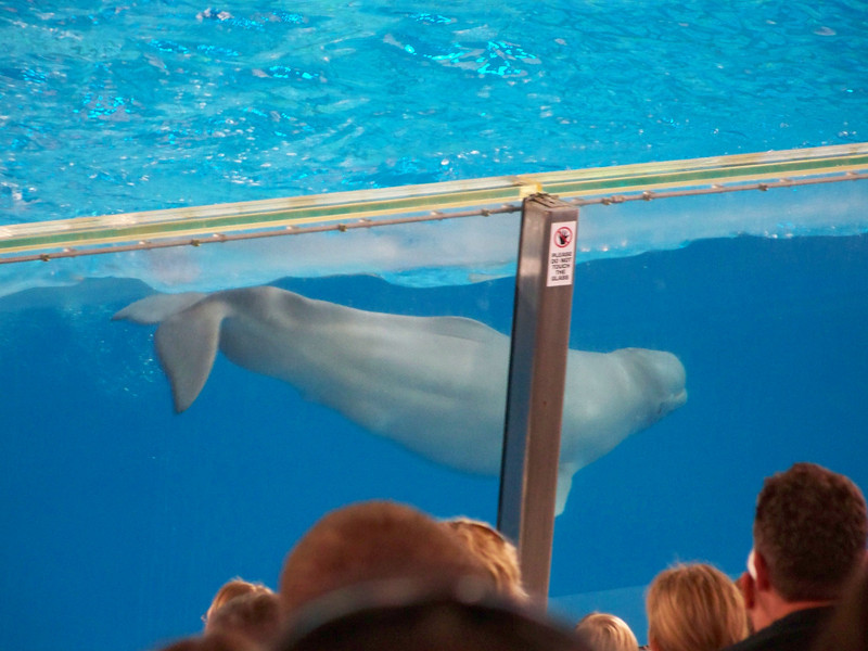 Beluga whale.<br /> [SeaWorld San Antonio - Azul show]