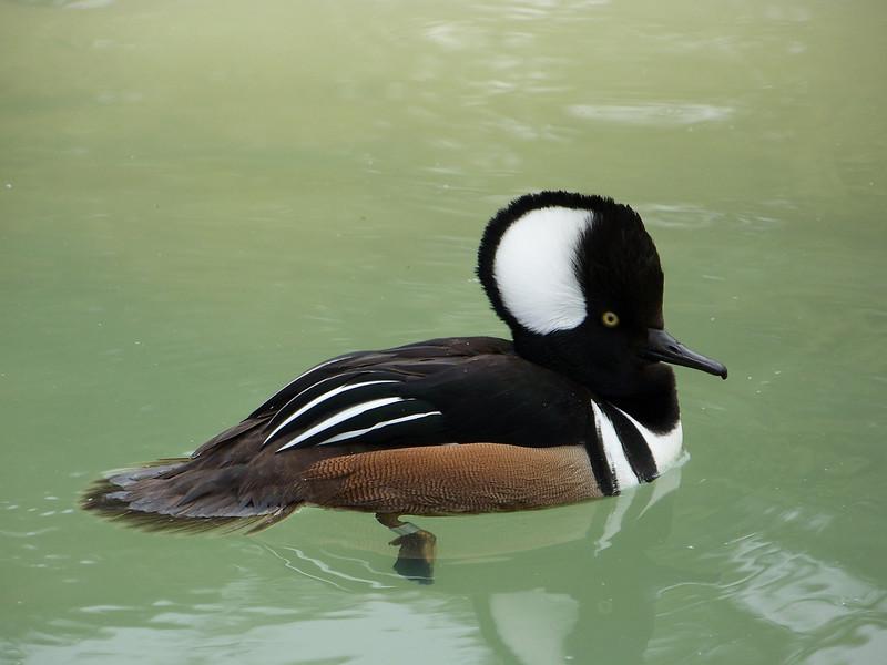 A very punk-rock duck.<br /> [SeaWorld San Antonio]