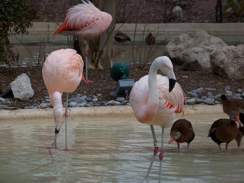 Flamingoes.<br /> [SeaWorld San Antonio]