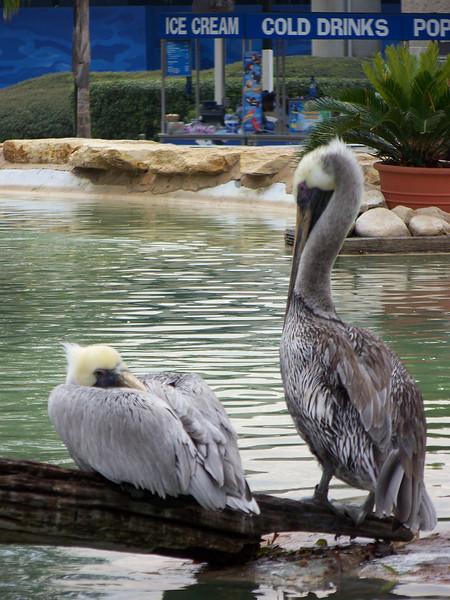 Pelicans.<br /> [SeaWorld San Antonio]