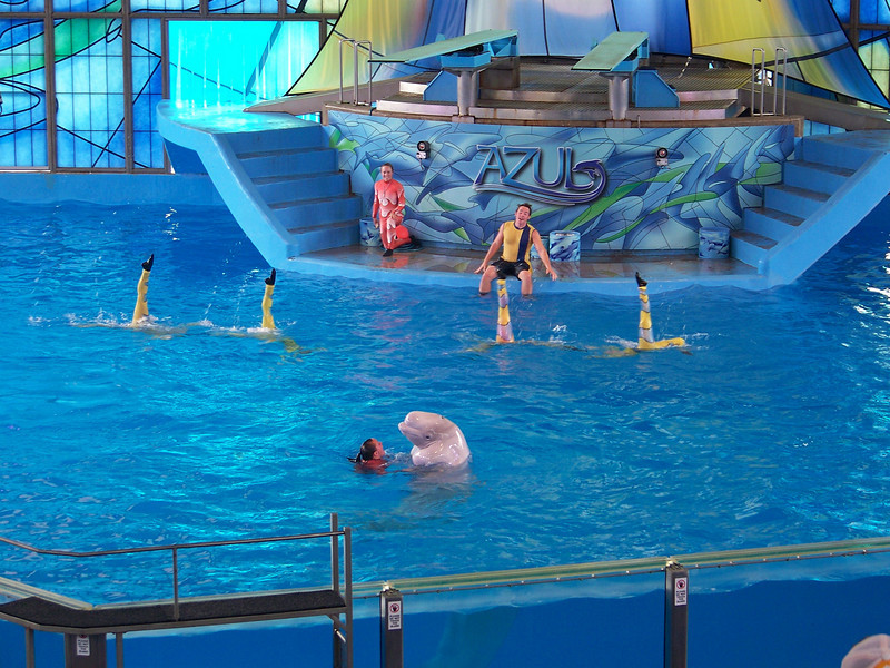 Beluga whale and trainer with synchronized swimmers.<br /> [SeaWorld San Antonio - Azul show]