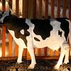 _01-cow in the backyard
