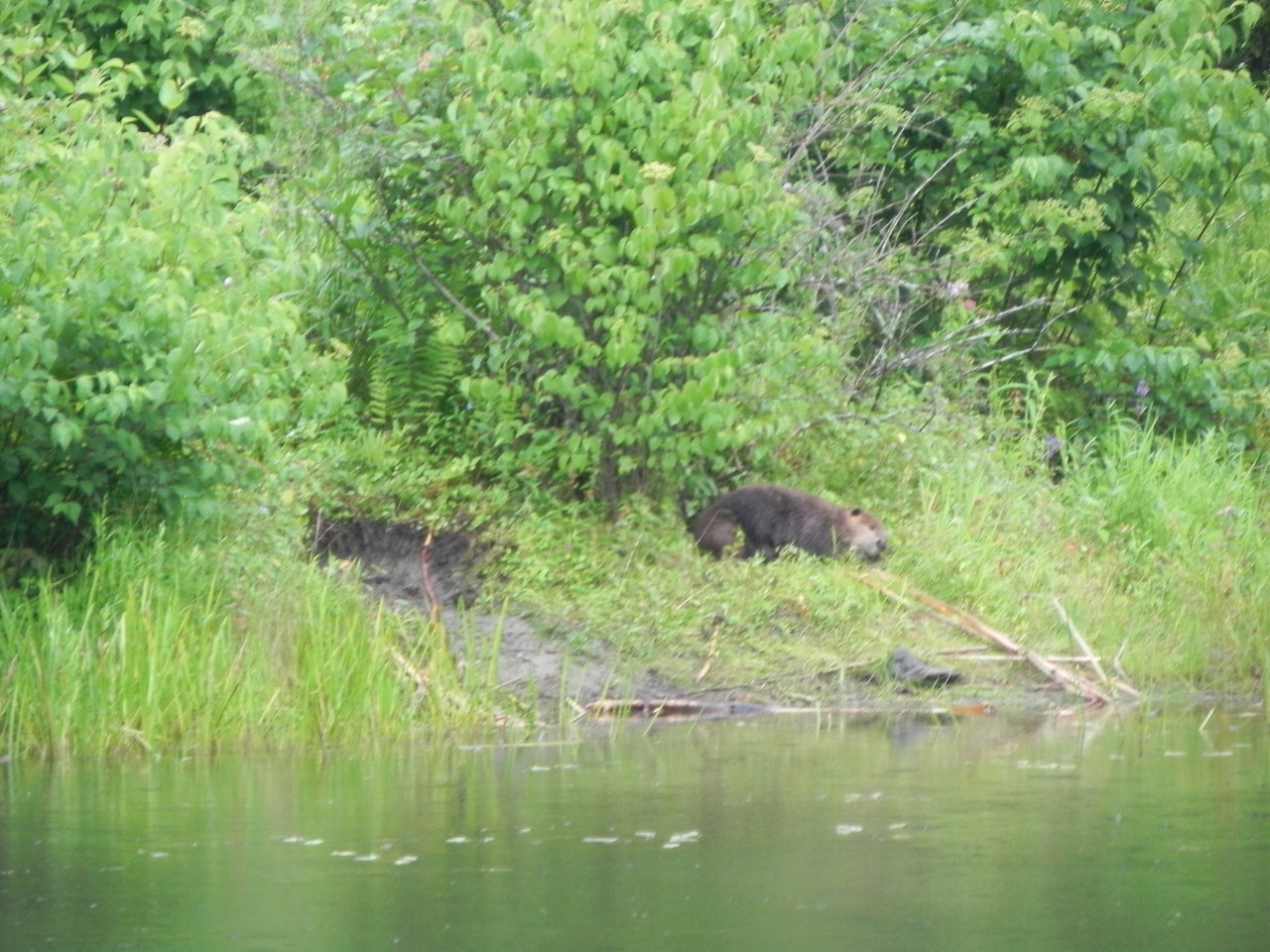 Beaver in Pleasant Valley Wildlife Sanctuary
