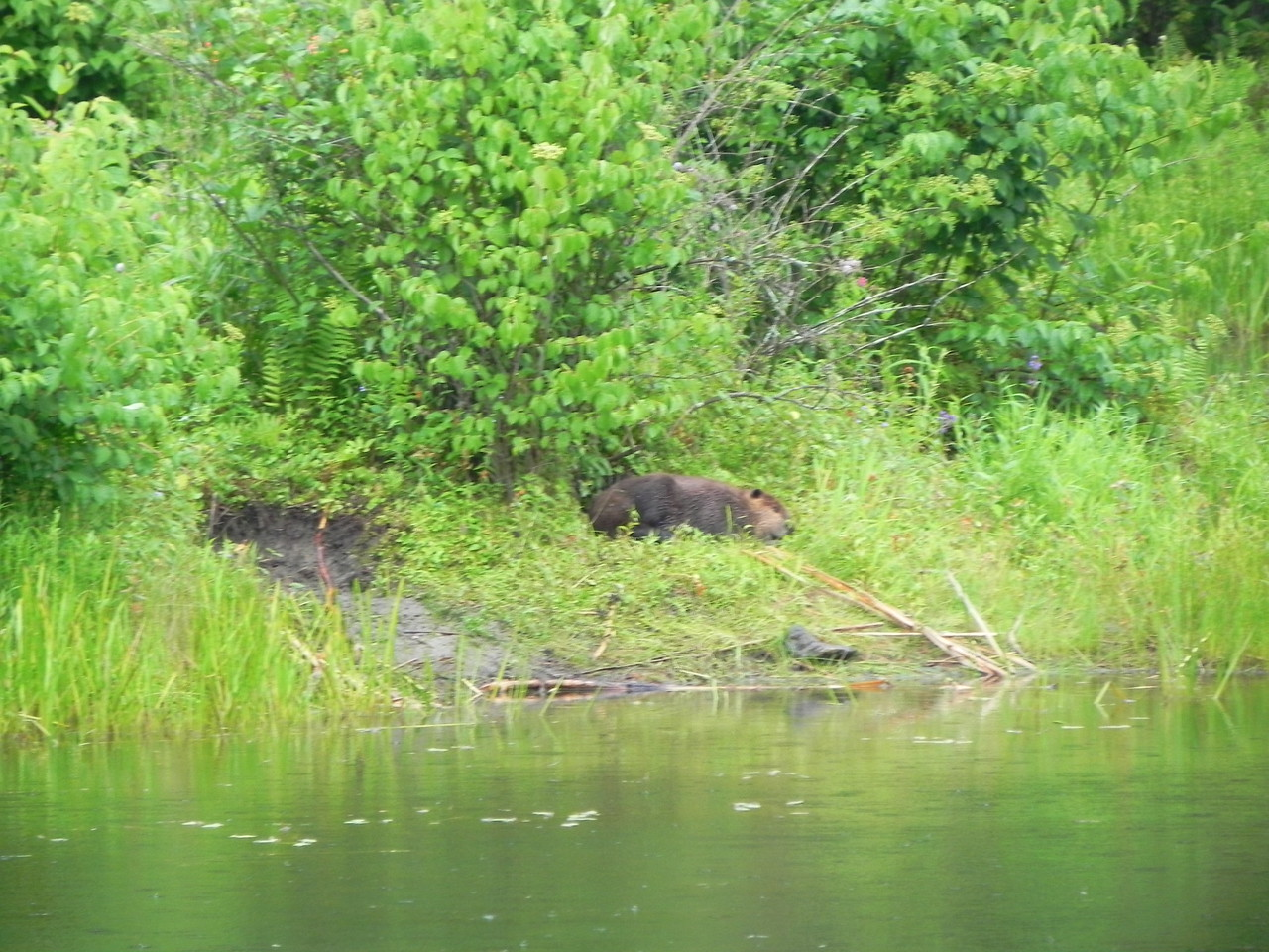Beaver in Pleasant Valley Wildlife Sanctuary