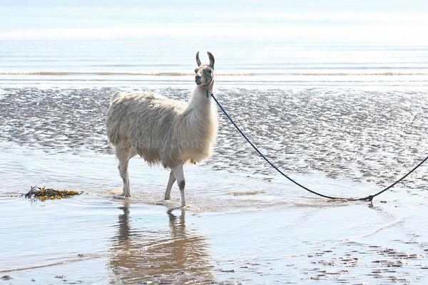 """Nico"",the Llama on Port Laing Beach ©LesleyDonald"