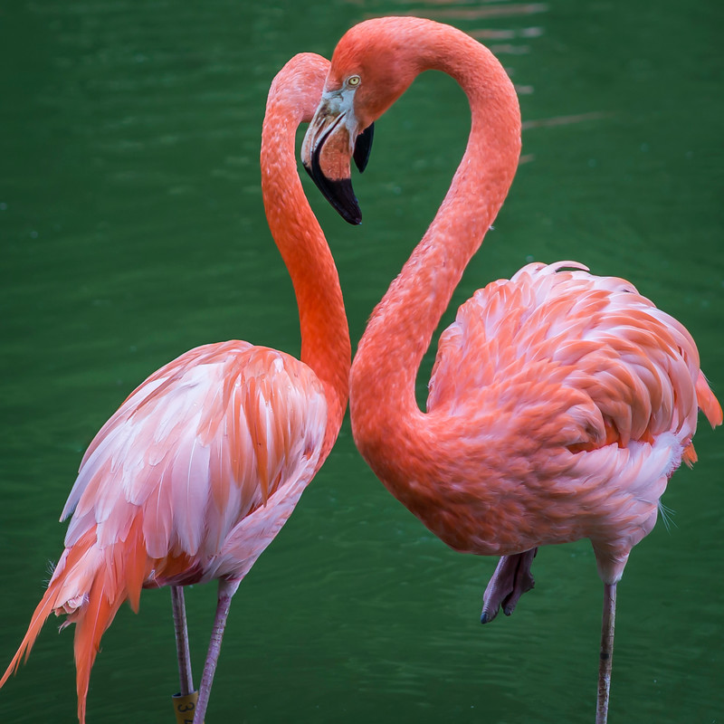 Two Flamingos, One Heart.