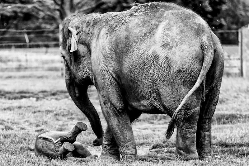 Mother & Calf