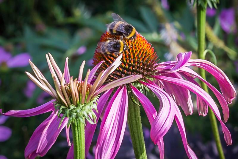 Bumblebees Blossoming.