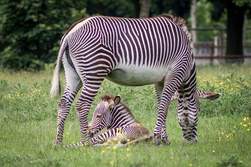 Mama Zebra & Colt