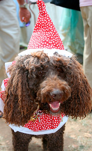 Brown poddle. http://www.frenchfestival.com/poodle.html
