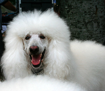 Beautiful white poddle. http://www.frenchfestival.com/poodle.html