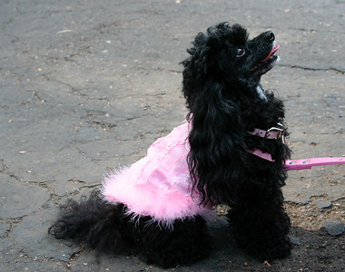 Cute poddle waiting for the Parade: http://www.frenchfestival.com/poodle.html