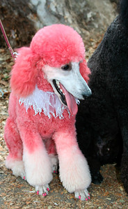 Pink poddle waiting for the parade: http://www.frenchfestival.com/poodle.html