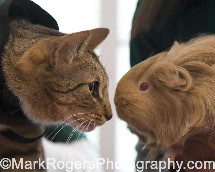 Animal Assisted Therapy participants Guido the cat and Stanley the Guinea Pig<br /> San Francisco SPCA 140th Anniversary Celebration