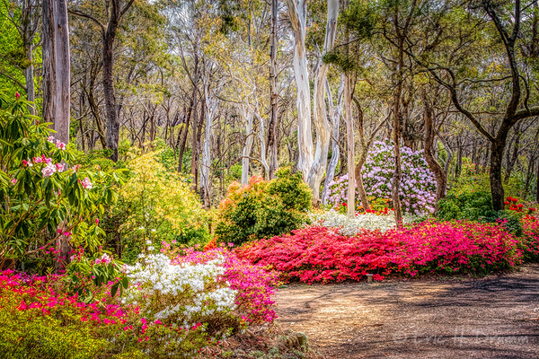Spring Glory among Native Trees, Campbell Rhododendron Gardens, Blackheath, NSW, Australia