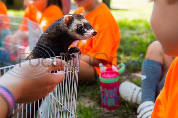 Buddy the ferret peeks over his wire fence to look at campers during Zoo Camp Friday at Caldwell Zoo in Tyler.