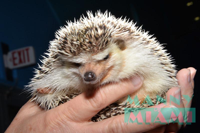 African Pigmy Hedgehog