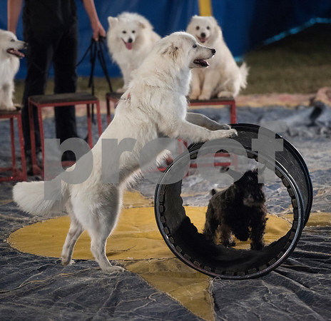 Natalie Cainan's American Eskimo Eskapade performs during the traveling Culpepper & Merriweather Circus at Winchester Park in Chandler, Texas Friday Oct. 20, 2017.   (Sarah A. Miller/Tyler Morning Telegraph)
