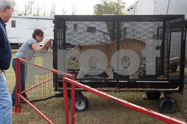 People visit Delilah the tiger during a morning tour of the traveling Culpepper & Merriweather Circus at Winchester Park in Chandler, Texas Friday Oct. 20, 2017.   (Sarah A. Miller/Tyler Morning Telegraph)