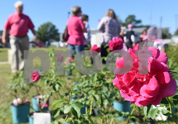 """The Miranda Lambert celebrity rose from Certified Roses is for sale during Pinktoberfest, hosted by The Cannery Lindale, The Pink Pistol, Love and War in Texas and the City of Lindale Oct. 22, 2016 in Lindale. The event, dubbed, a """"Texas Size Block Party"""" featured games, live music, a chili cook-off and MuttNation Foundation pet adoption. Pinktoberfest also served as the official grand opening of Love and War in Texas and The Pink Pistol.   (Sarah A. Miller/Tyler Morning Telegraph)"""