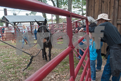 Visitors watch a mule power a machine at the annual Heritage Syrup Festival Saturday Nov. 14, 2015 in Henderson, Texas. The celebrates the tradition of ribbon cane syrup and features a syrup making demonstration utilizing the Depot Museum's antique mule powered equipment. The festival also features basket weaving,  blacksmithing, folk singers, vendors and square dancing.  (Sarah A. Miller/Tyler Morning Telegraph)
