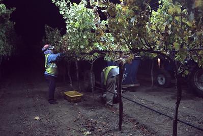 1509 Wine harvest