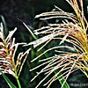 """FEATHER REED GRASS"""