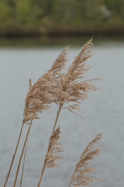 Phragmites, also called  Fox tails.