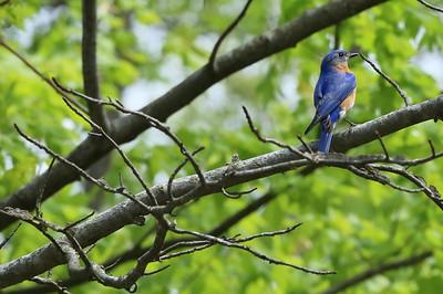 A blue bird.