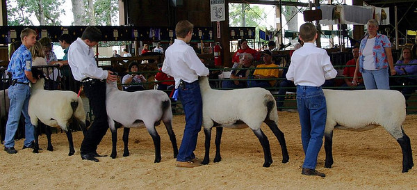 Sheep Judging %2833523462%29