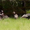 Some of the beautiful wild turkeys at the camp came down to see where all the noise was coming from!