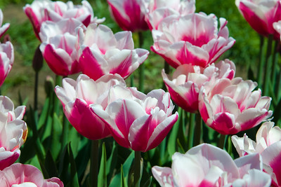 Tulip Festival 2007-10