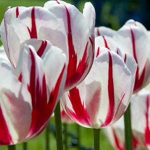 Tulip Festival 2007-11