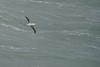 Australasian Gannet at Port Elliot