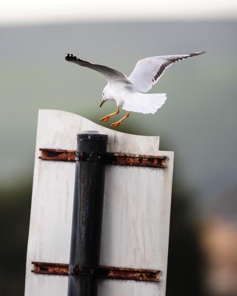 Silver Gull at Port Elliot, SA