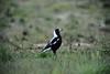 Australian Magpie at Clayton Bay