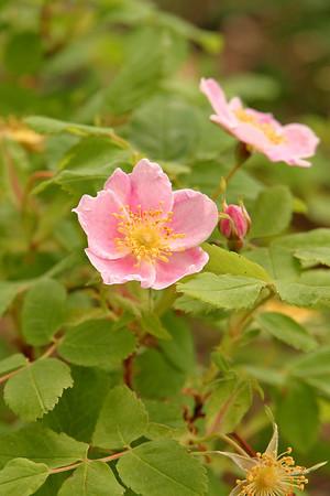 IMG_5669 Carmacks wild rose