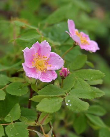 IMG_5675 Carmacks wild rose rain