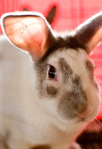 Hundreds of rabbits were on display at the rabbit house at the Boone County Fair.