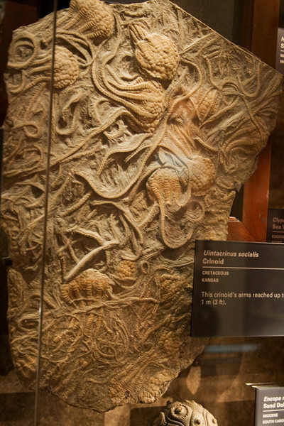 Wednesday November 26, 2008 new exhibit at the Natural History museum in DC, Ocean's Hall.  Fossils found in Kansas.