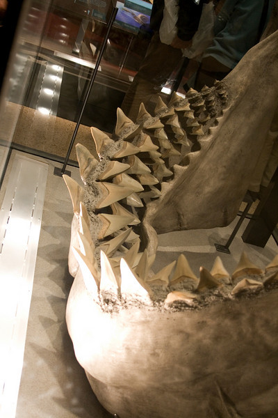 Wednesday November 26, 2008 new exhibit at the Natural History museum in DC, Ocean's Hall, great white shark jaws.