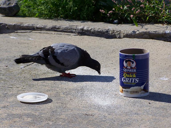 Florida born pigeon, of course, he is eating Grits!