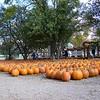 """""""The Boulevard"""" of Pumpkins."""