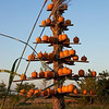 Another pumpkin tree...