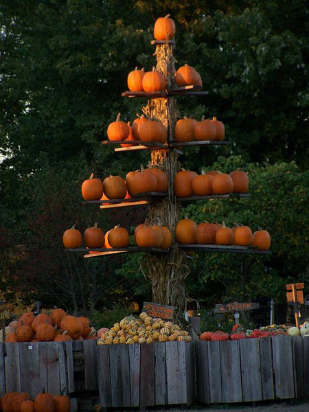 Where pumpkins grow on trees.