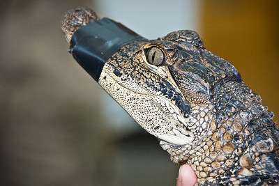 Baby Alligator © Nora Kramer. All rights reserved.
