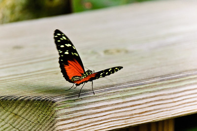 Red & Black Butterfly © Nora Kramer. All rights reserved.